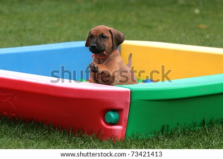 a cute rhodesian ridgeback puppy playing in a box - stock photo