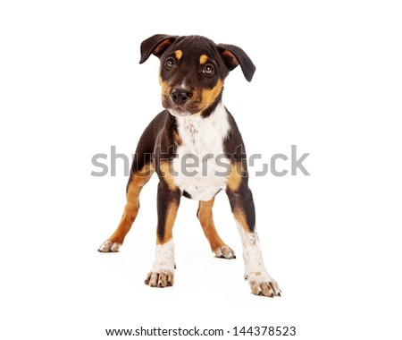 A cute Rottweiler and Shepherd mixed breed eight week old puppy standing against a white background while looking at the camera - stock photo