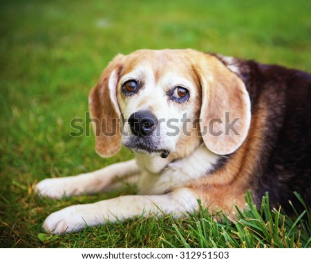 a cute senior beagle looking off in the distance in a park or backyard on fresh green lawn - stock photo