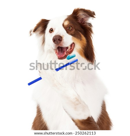 A cute Shetland Sheepdog with a happy expression holding toothbrush to brush teeth - stock photo