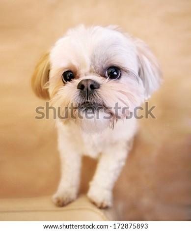 a cute shih tzu looking at the camera - stock photo