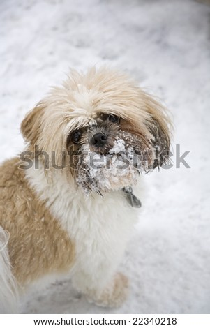 A cute Shih Tzu with a face full of snow - stock photo