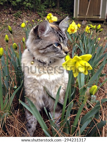 A cute Siamese, Balinese mixed breed cat sitting in a flower garden. - stock photo
