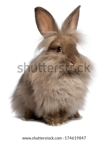 A cute sitting chocolate colored lionhead bunny rabbit, isolated on white background - stock photo