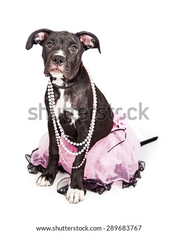 A cute six month old female mixed large breed puppy dog sitting while wearing a pretty pink tutu and pearl necklaces - stock photo