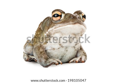 A cute Sonoran Desert Toad sitting against a white backdrop - stock photo
