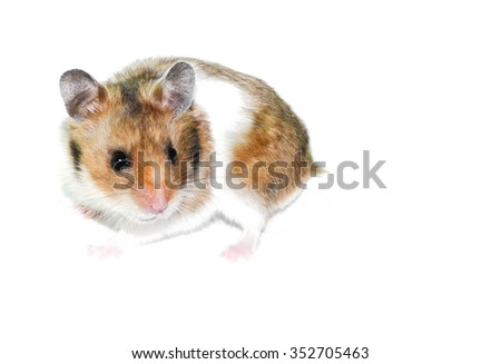 a cute spotted hamster - stock photo