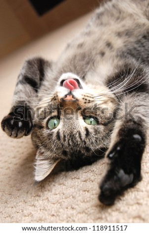 A cute tabby kitten on the floor, playing with his tongue stuck out - stock photo