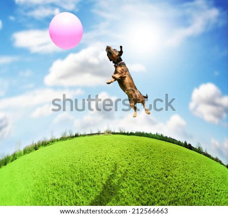 a cute terrier dachshund mix at a local park on a hot sunny day chasing a pink ball - stock photo