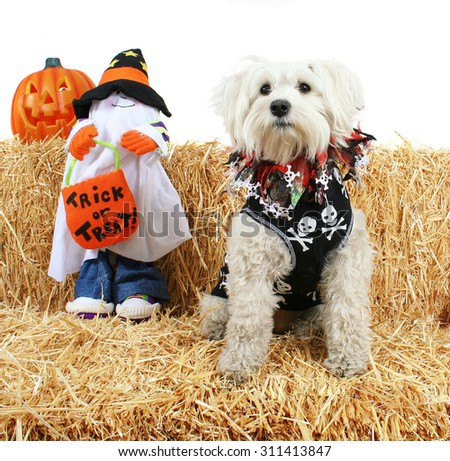 a cute terrier with a bandanna on next to a ghost holding a trick or treat bag on a bale of hay or straw halloween theme on an isolated white background  - stock photo