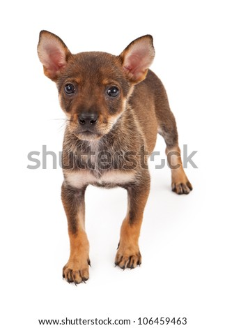 A cute 8 week old mixed breed puppy standing against a white background. - stock photo