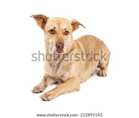 A cute Welsh Corgi and Chihuahua mixed small breed dog laying down - stock photo