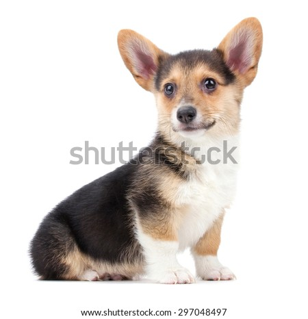 a cute welsh pembroke corgi puppy on an isolated white background - stock photo