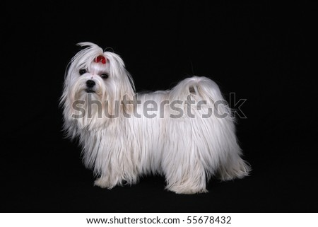 A cute white Maltese dog with red ribbon standing sideways looking at the camera against a black background. - stock photo