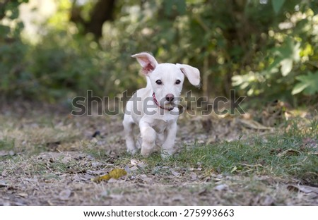 A cute white puppy is running outdoors with ear flopping  - stock photo