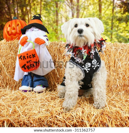 a cute white terrier mix sitting on a bale of hay or straw for autumn or halloween theme designs - stock photo