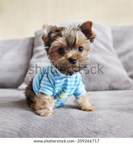 a cute yorkie in a shirt sitting on a couch - stock photo
