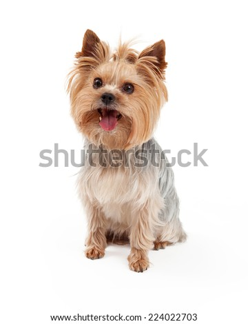 A cute Yorkshire Terrier dog siting at and angle. - stock photo