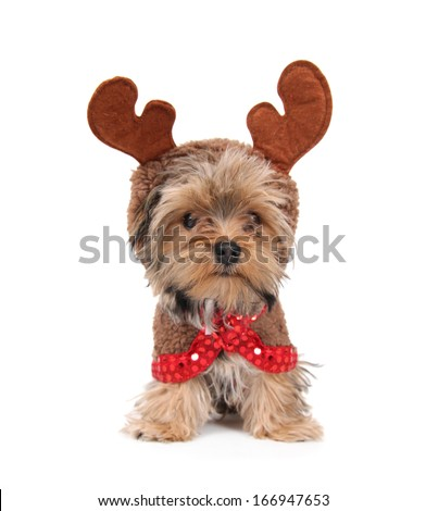a cute yorkshire terrier on a white background - stock photo