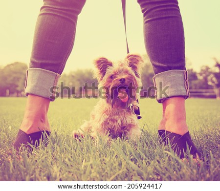 a cute yorkshire terrier sitting between a woman's legs toned with a retro vintage instagram filter  - stock photo