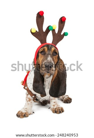 A cute young Basset Hound breed dog wearing Christmas reindeer antlers - stock photo