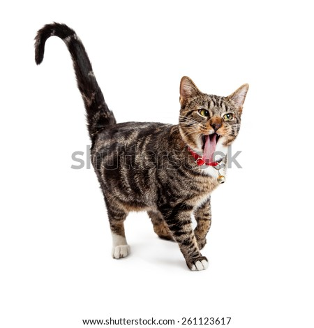 A cute young Bengal cat walking with a funny expression, mouth open and tongue sticking out - stock photo