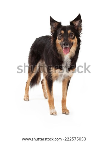 A cute young black and tan color Border Collie and Shepherd mixed breed dog standing and looking forward with an open mouth - stock photo