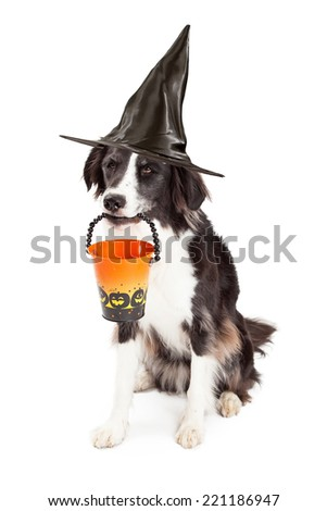 A cute young Border Collie dog wearing a black witch hat and holding an empty Halloween bucket in his mouth - stock photo