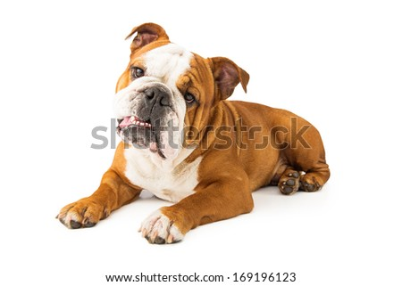 A cute young Bulldog pup laying against a white backdrop and tilting his head to the side - stock photo