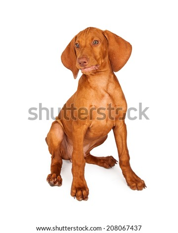 A cute young Vizsla breed puppy dog sitting against a white background with a funny smirk on his face.  - stock photo