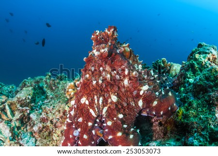 A Cyanea (Day) Octopus on a tropical coral reef - stock photo