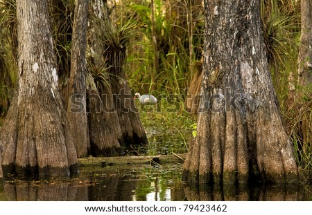 A cypress forest scenic with ibis in the background in Everglades National Park - stock photo