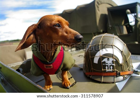 A Dachshund in a military jacket, stands on the hood of a WW2 US army jeep - stock photo