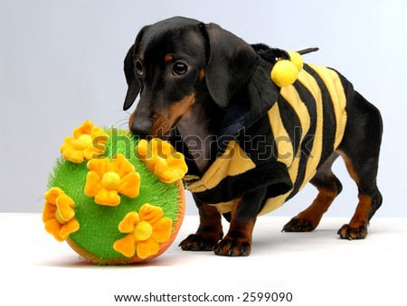 A dachshund puppy standing next to flower pot full size - stock photo