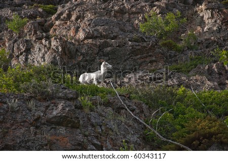 A Dall sheep lamb peering down from an overlook while coming down the mountainside of Turnagain Arm at dusk. - stock photo