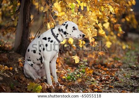 A dalmatian outdoor during autumn - stock photo