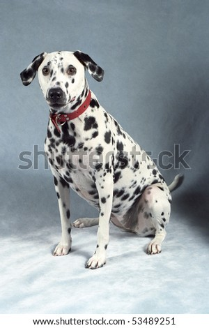 A Dalmation wearing a red collar poses on a plush blue backdrop. - stock photo