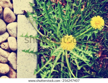 a dandelion along a landscaped walkway of stone pavers and gravel toned with a retro vintage instagram filter app  - stock photo