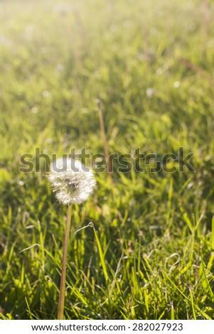 A dandelion backlit against warm sunlight - stock photo