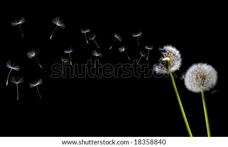 A Dandelion blowing - stock photo