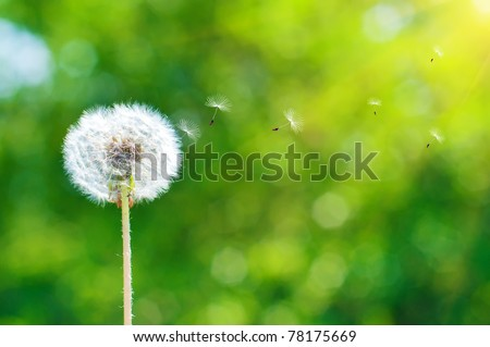 A Dandelion blowing seeds in the wind - stock photo