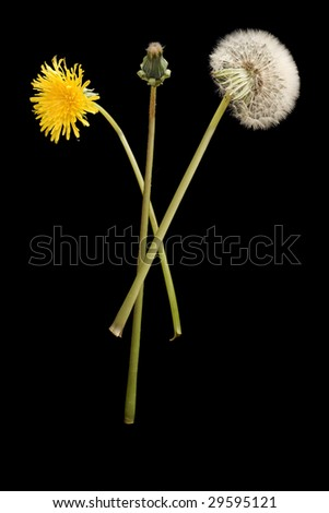 a dandelion bud and a white dandelion flower and a yellow dandelion flower - stock photo