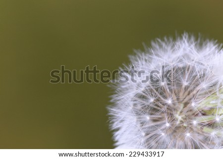A dandelion flower before spreading seeds - stock photo