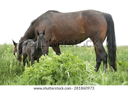 A dark filly standing by her grazing mother in a grassy field.  On a white background. - stock photo