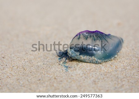 A dead and poisonous bluebottle lying on the beach sand - stock photo