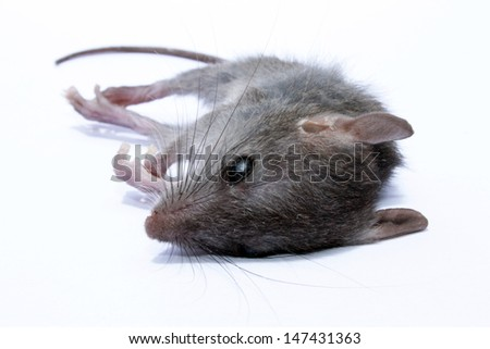 A dead grey house or field mouse AKA Mus musculus. The common mouse, one of the most numerous species of the genus Mus.  - stock photo