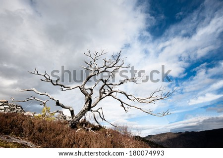A dead tree ten years after fire - stock photo