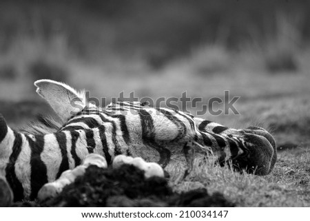 A dead zebra that the lions killed in this abstract black and white image. - stock photo