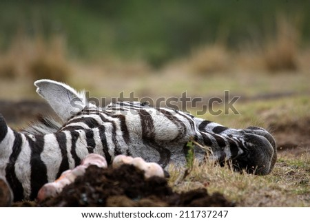 A dead zebra that was killed by the lions. - stock photo