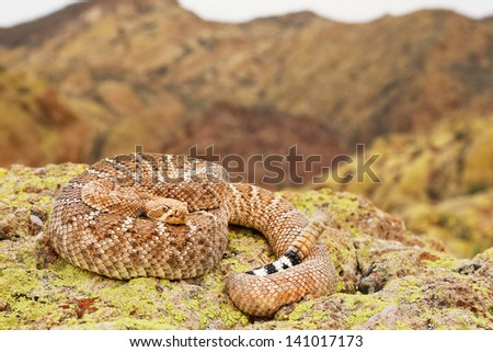 A deadly Western Diamondback Rattlesnake (Crotalus atrox) in Arizona, USA. Snake is coiled on a rock with rattle visible in the Superstition Mountains. - stock photo